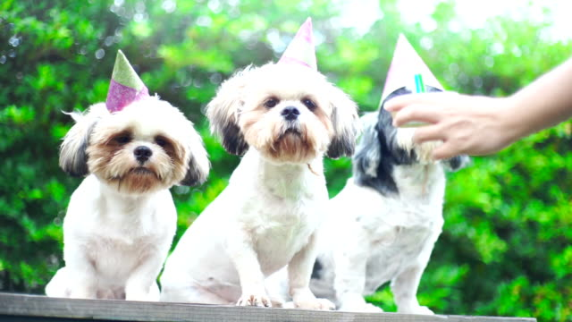 party dogs, shih tzu dogs with party hat and birthday cake. - purebred dog stock videos & royalty-free footage