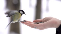 SLOW MOTION: Parus lands on hand and takes a seed