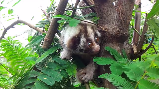 pasar, the baby slow loris, has been making amazing progress since he was taken in by the international animal rescue. lis recorded this video of... - langsam stock-videos und b-roll-filmmaterial