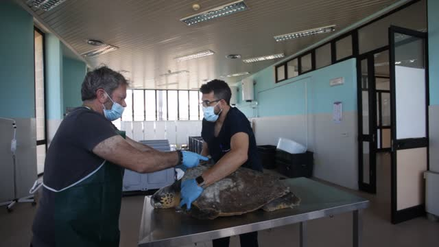 pasquale salvemini, wwf head of the sea turtle recovery center of molfetta and dr. francesco caprio university of bari department of veterinary... - environmentalist stock videos & royalty-free footage