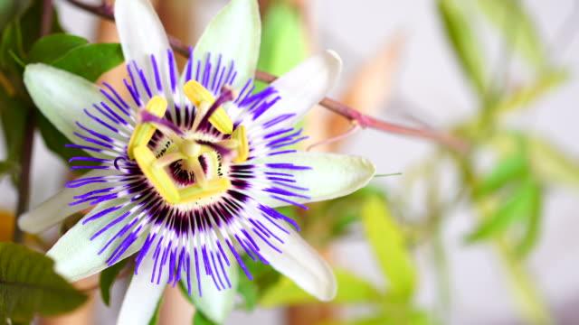 passiflora caerulea i laterala rörelse 4k - passionsfrukt bildbanksvideor och videomaterial från bakom kulisserna