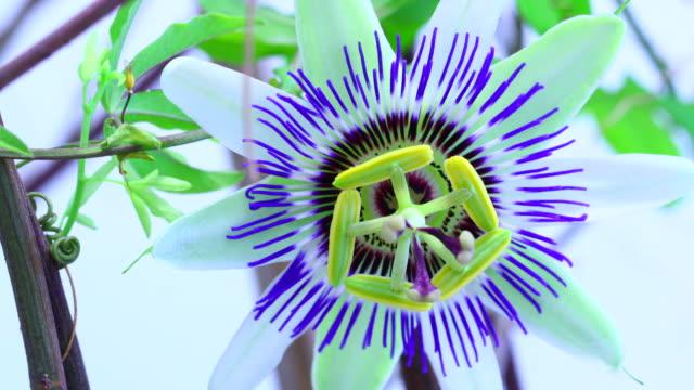 passiflora blomma blommande 4k - passionsfrukt bildbanksvideor och videomaterial från bakom kulisserna
