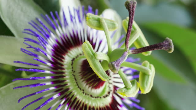 passiflora flower blooming time lapse - tropical fruit stock videos & royalty-free footage