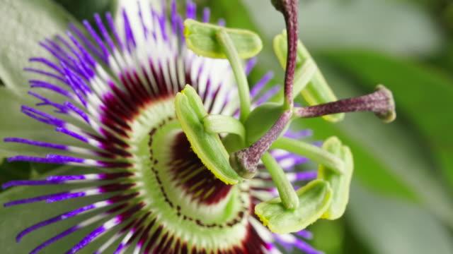 passiflora blomma blommande tid förfaller - passionsfrukt bildbanksvideor och videomaterial från bakom kulisserna