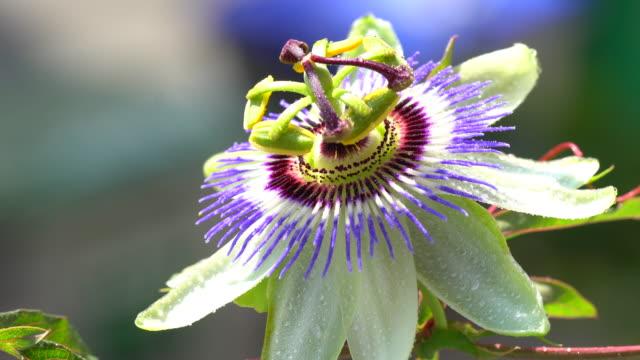 passiflora blommar - passionsfrukt bildbanksvideor och videomaterial från bakom kulisserna