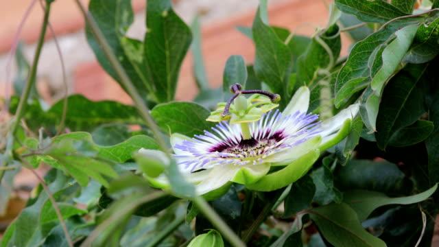 passiflora flower macro and amegilla quadrifasciata, white-banded digger bee - invertebrato video stock e b–roll
