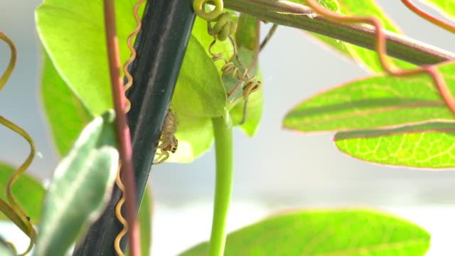 vídeos de stock, filmes e b-roll de tendrils passiflora ao vento e aranha minúscula - salticidae - trepadeira