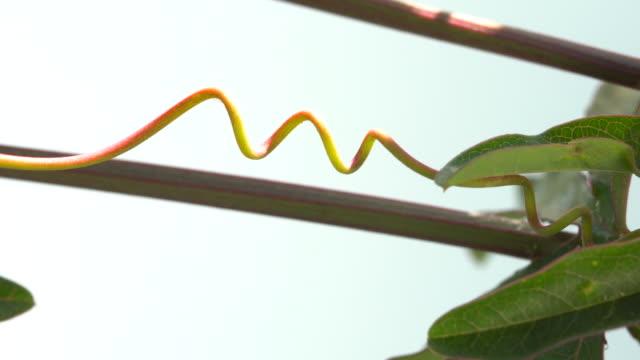 vídeos de stock, filmes e b-roll de tendrils passiflora ao vento - trepadeira