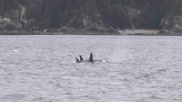 pov, passing orcas (orcinus orca) surfacing in glacier bay, glacier bay national park and preserve, alaska, usa - surfacing stock videos & royalty-free footage