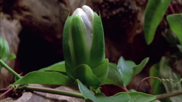 passion flower blossoming available in hd. - passionsfrukt bildbanksvideor och videomaterial från bakom kulisserna