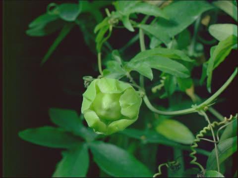 vídeos de stock, filmes e b-roll de passion flower flowering - trepadeira