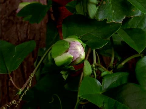 vídeos de stock, filmes e b-roll de passion flower opening and closing - trepadeira