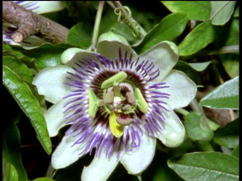 vídeos de stock, filmes e b-roll de passion flower opens, england - evolução
