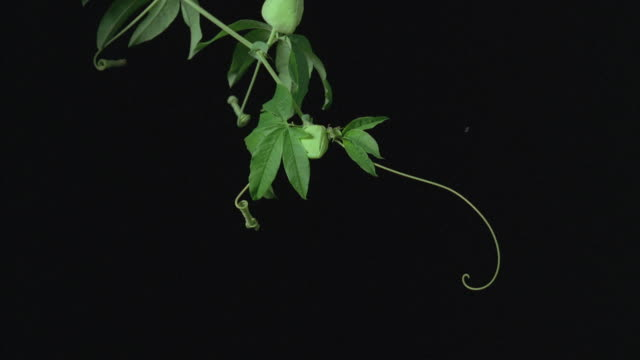 t/l, ms, passion flower (passiflora) tendril growing against black background, - vine stock videos and b-roll footage