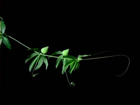 t/l passion flower tendrils growing, black background - passionsfrukt bildbanksvideor och videomaterial från bakom kulisserna