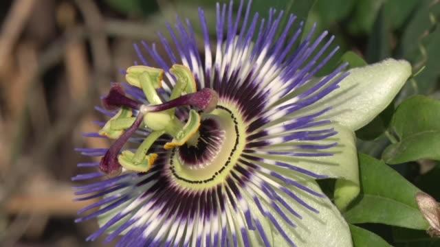 passion flower - passionsfrukt bildbanksvideor och videomaterial från bakom kulisserna