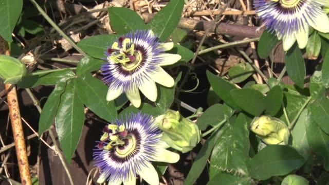 vidéos et rushes de passion flower - étamine