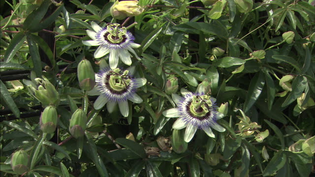 passion flowers bloom on the vine. - vine stock videos and b-roll footage