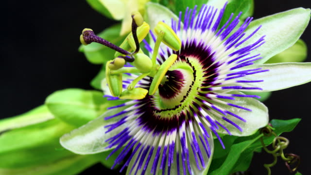 Passion fruit flower blooming HD 4K