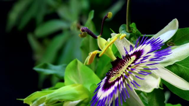 passionsfrukt blomma blommande hd 4k - passionsfrukt bildbanksvideor och videomaterial från bakom kulisserna