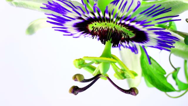 vídeos de stock e filmes b-roll de maracujá flor desabrochando hd - prunus taihaku