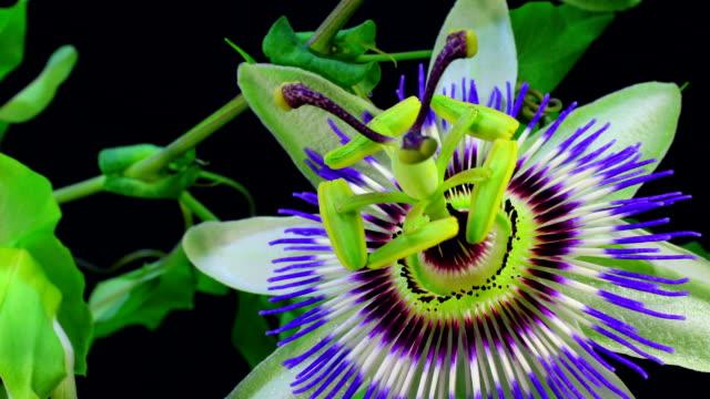 passion fruit flower blooming hd - passionsfrukt bildbanksvideor och videomaterial från bakom kulisserna