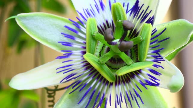 passionsfrukt blomma blommar - ståndare bildbanksvideor och videomaterial från bakom kulisserna