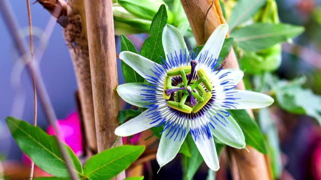 passionsfrukt blomma blommar - passionsfrukt bildbanksvideor och videomaterial från bakom kulisserna