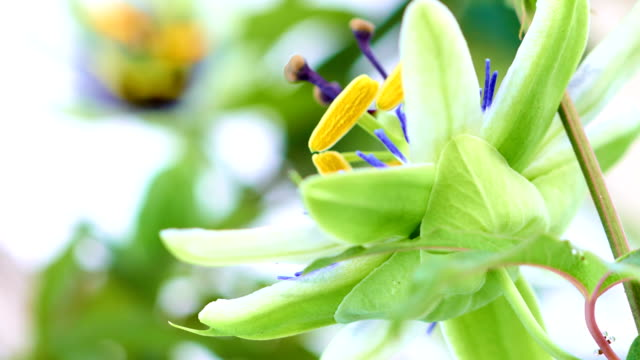 Passion fruit flower blooming