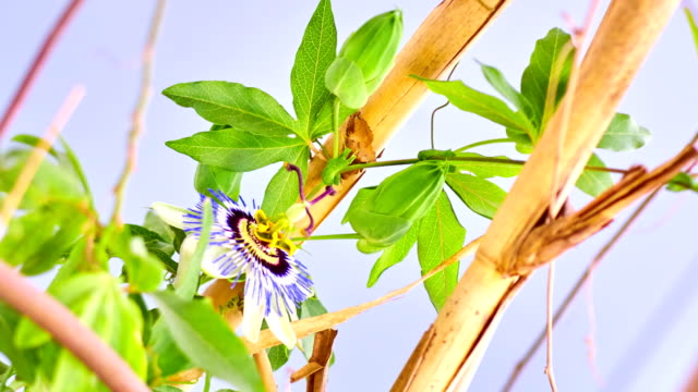 passion fruit flower decaying - drying stock videos & royalty-free footage