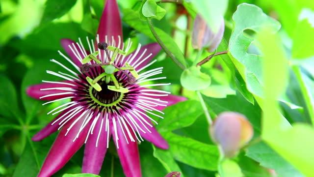 passion fruit flower - passionsfrukt bildbanksvideor och videomaterial från bakom kulisserna