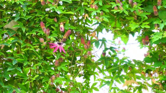 passionsfrukt blomma - passionsfrukt bildbanksvideor och videomaterial från bakom kulisserna