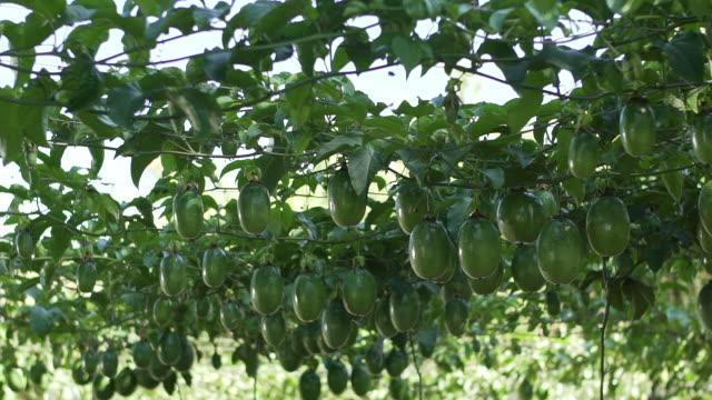 passion frukt plantage - passionsfrukt bildbanksvideor och videomaterial från bakom kulisserna