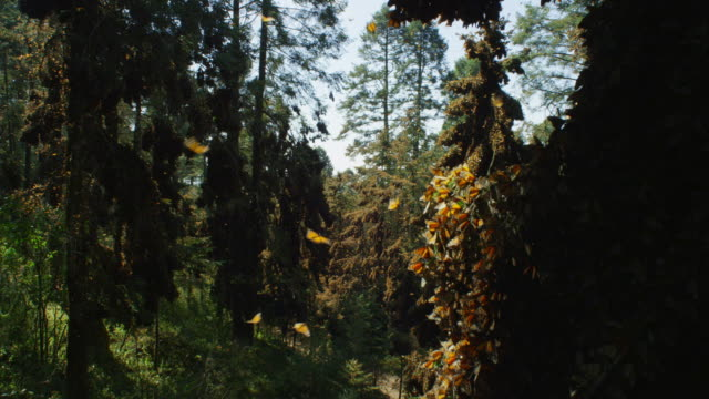 ws track past massed monarch butterflies on branch to reveal forest - migrazione animale video stock e b–roll