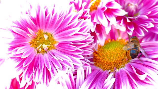 vídeos y material grabado en eventos de stock de colores pastel de otoño - crisantemos - crisantemo