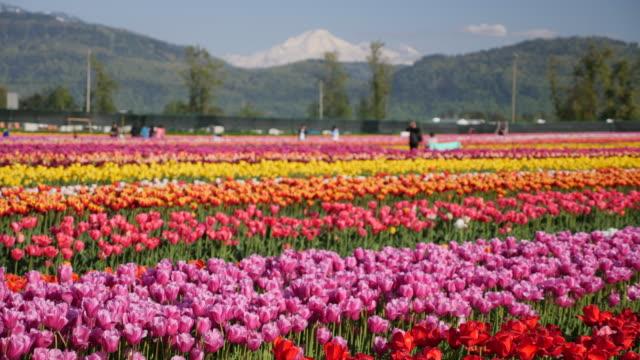 pastel tulip flowers fields growing in crops. - slow motion - チューリップ点の映像素材/bロール