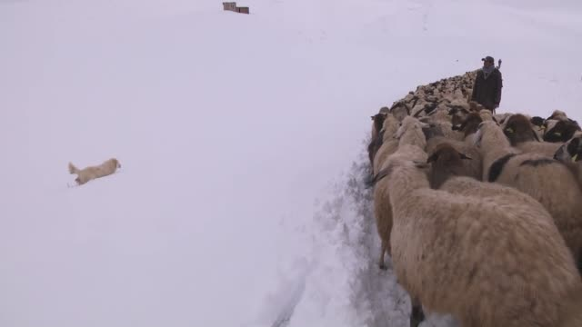 vídeos de stock e filmes b-roll de pastoral farmers return from highlands where they spend six months to get more products from their animals walking in snow in catak district of... - mamífero ungulado