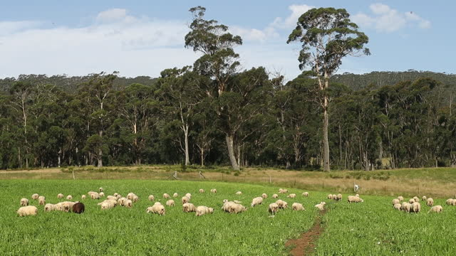 pasture full of sheep at pecora dairy farm in knights hill, new south wales. australia's economy is recovering strongly and sentiment and hiring... - 放牧地点の映像素材/bロール