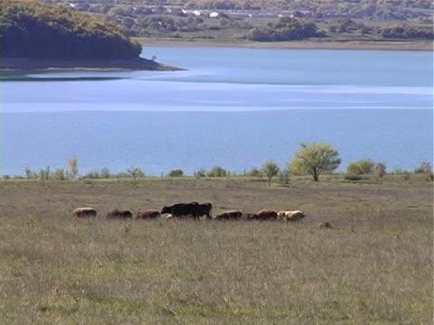 vidéos et rushes de pâturage près du lac - groupe moyen d'animaux