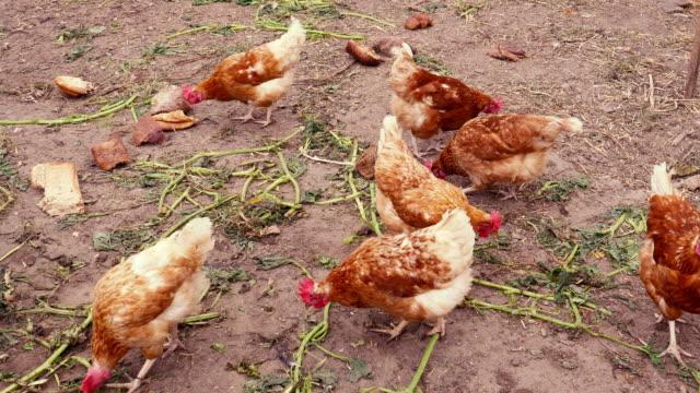 vídeos de stock e filmes b-roll de pasture raised chickens feeding - galinha fêmea de animal