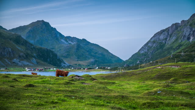 pasture with cattle in nordic landscape - lofoten islands, norway - scandinavia - domestic cattle stock videos & royalty-free footage