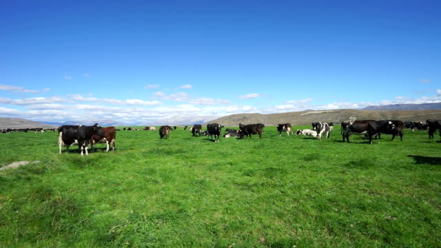 pasture with cows in blue sky