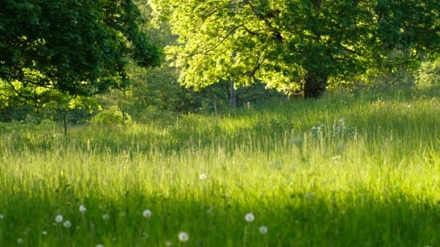 a pasture with oaks in the evening sun in the summer - liten skog bildbanksvideor och videomaterial från bakom kulisserna