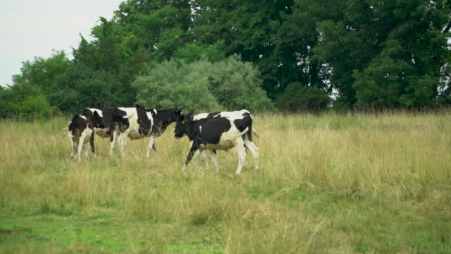 vídeos de stock e filmes b-roll de pasture-raised cattle - gado holstein friesian