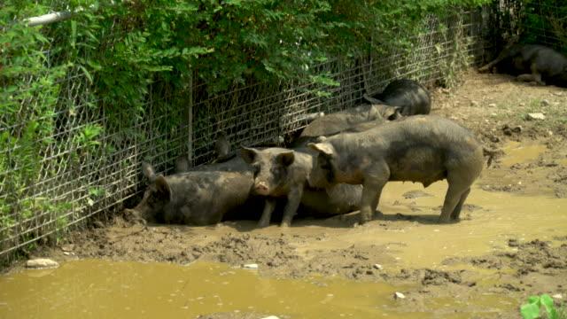pasture-raised pigs cooling off - schwein stock-videos und b-roll-filmmaterial