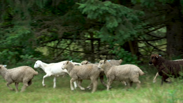 vídeos de stock e filmes b-roll de pasture-raised sheep - ovelha mamífero ungulado