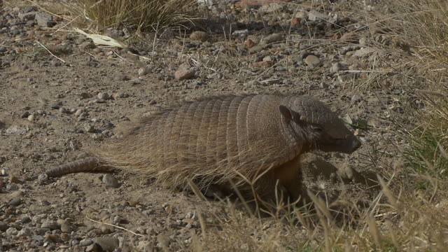 Patagonian armadillo lying down, slow motion