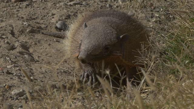 Patagonian armadillo smelling, slow motion