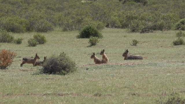 Patagonian maras resting in the sunny pampa
