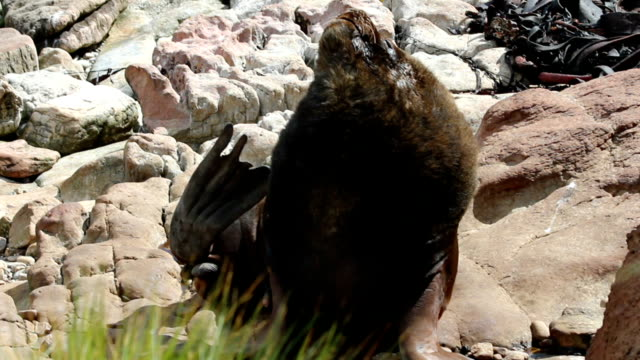 patagonian sea lion male (otaria flavescens) - atlantic islands stock videos & royalty-free footage